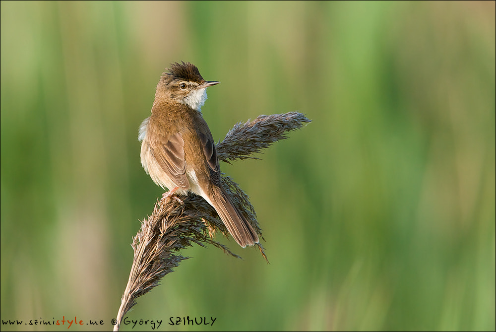 Photograph Paddyfield Warbler (Acrocephalus agricola) by Gyorgy Szimuly on 500px