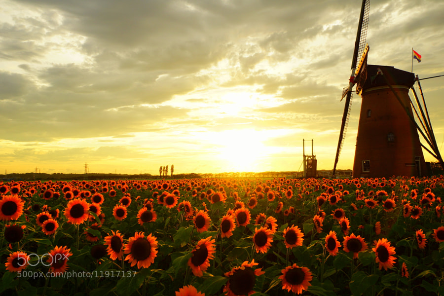 Photograph Sunflower and windmill by takeoh  on 500px