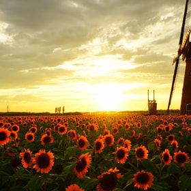Sunflower and windmill by takeoh  (takeoh1962)) on 500px.com