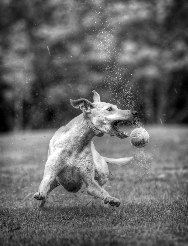Photograph WMD - Whippet of Mass Destruction by Hot Dog Photography on 500px