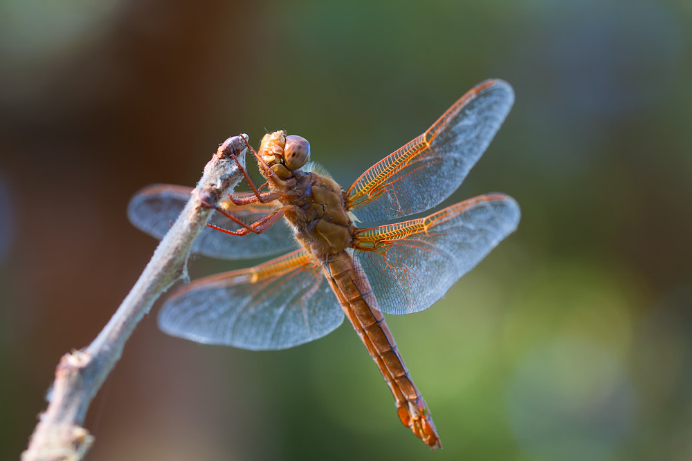 Photograph Dragon Fly by Kevin English on 500px