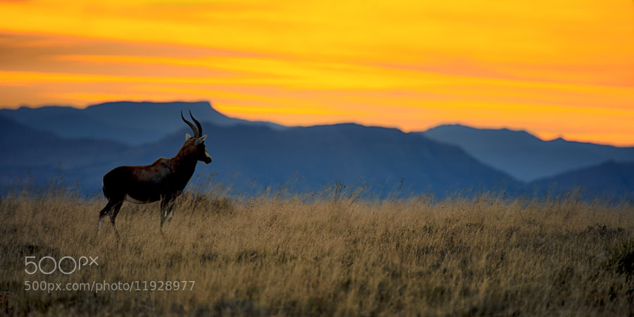 Photograph Blesbok at Sunrise by Mario Moreno on 500px