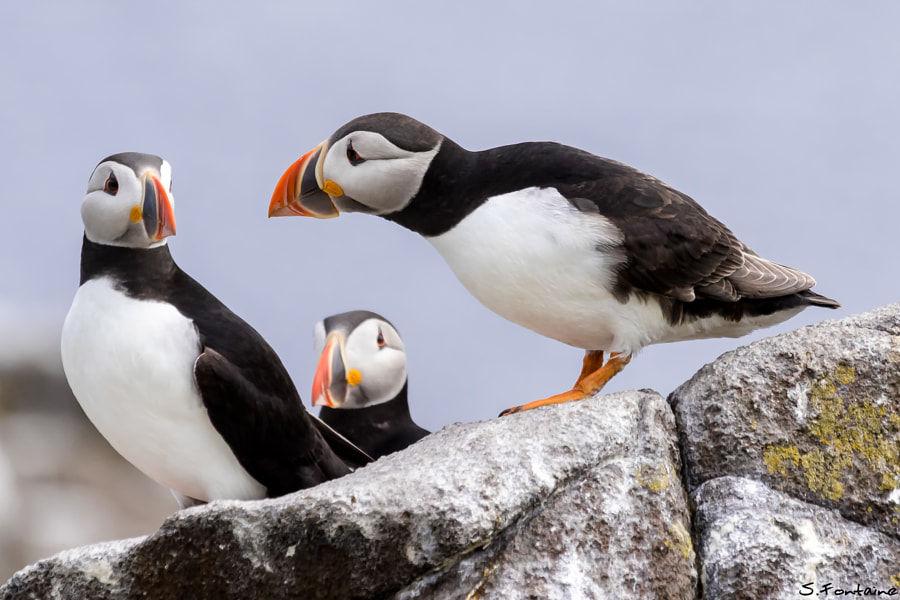 Atlantic Puffins : Attempt to approach...