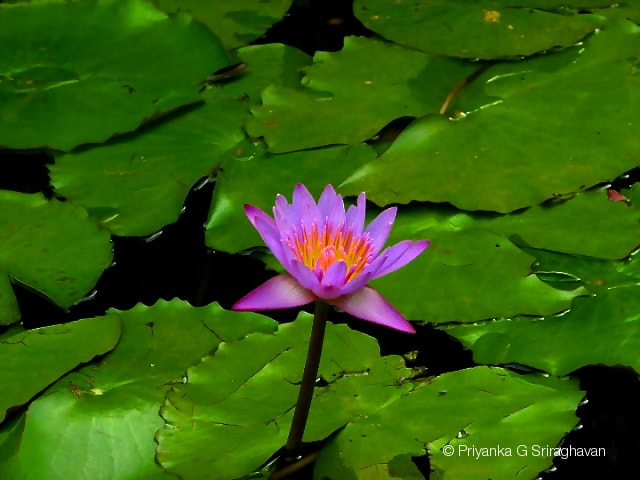 Photograph Awesome Water lily ! by Priya Sri on 500px