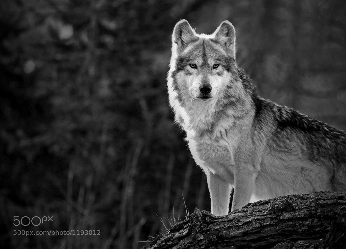 Photograph Lone Wolf by Scott Denny on 500px