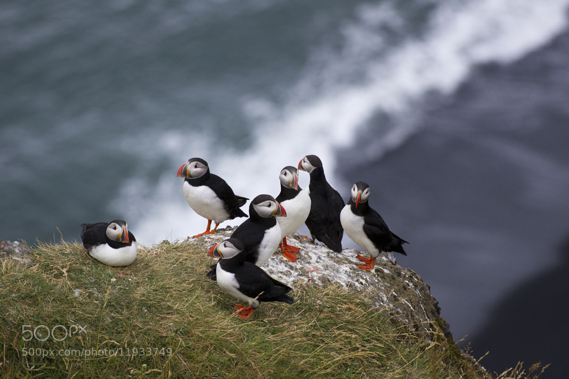Photograph Puffin cliff by Francesco  Pandolfo on 500px