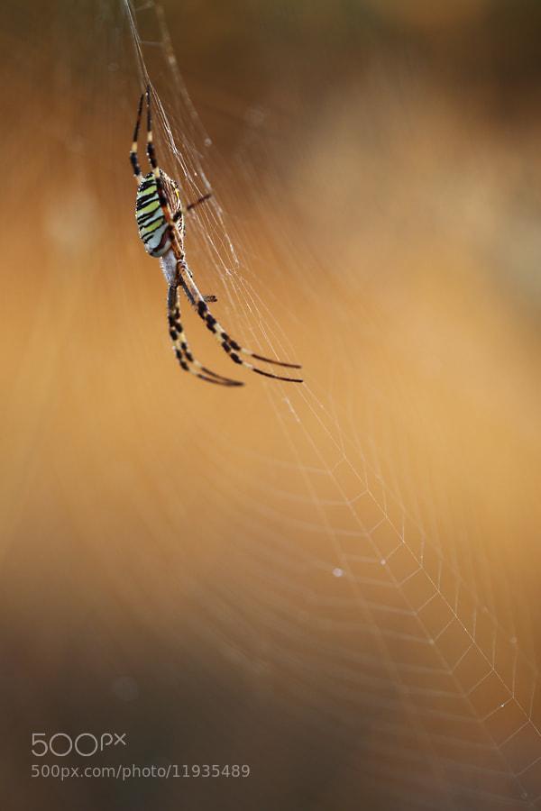 Photograph Argiope bruennichi by Christian Rey on 500px