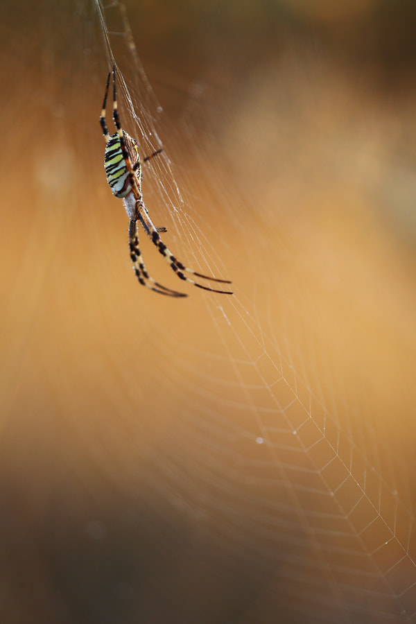 Photograph Argiope bruennichi by Christian Rey on 500px
