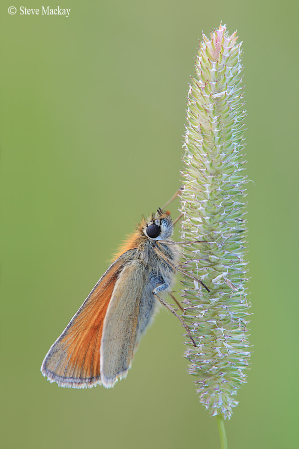 Photograph Small Skipper (Thymelicus sylvestris)  by Steve Mackay on 500px