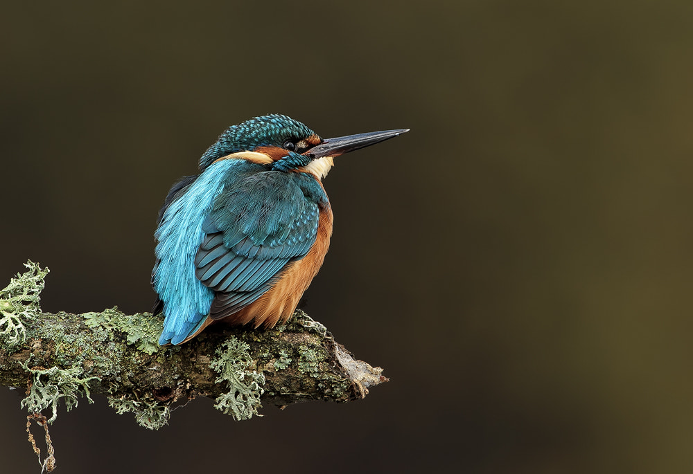 Photograph Kingfisher by Dale Sutton on 500px