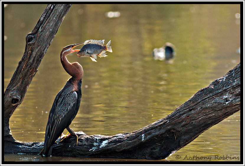 Photograph Nice catch by Anthony Robbins on 500px