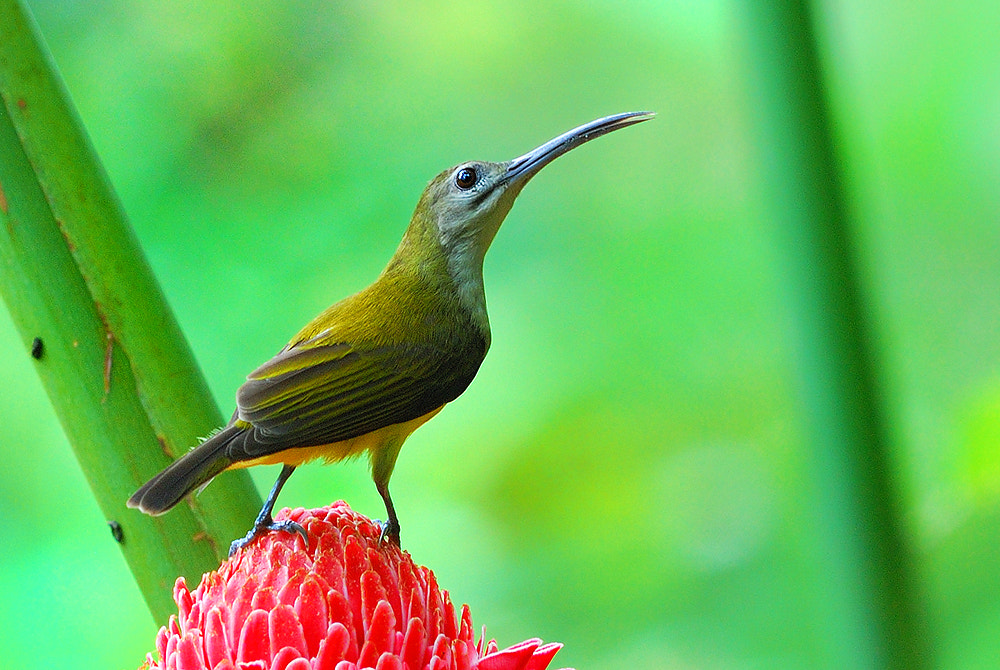 Photograph Little Spiderhunter by Poo Pix on 500px