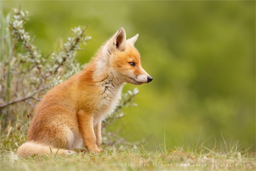 Fox in Thoughts by Roeselien Raimond on 500px.com