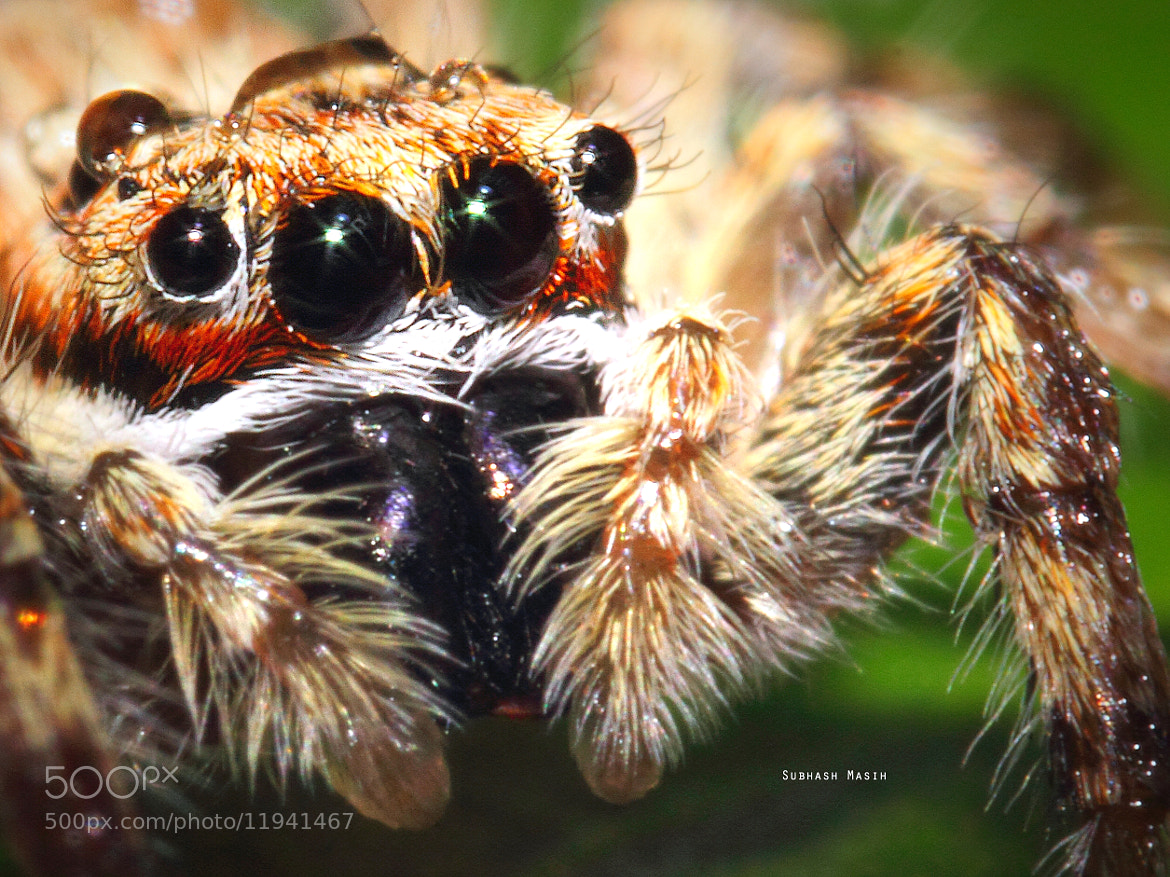 Photograph Spider Macro by Subhash Masih on 500px