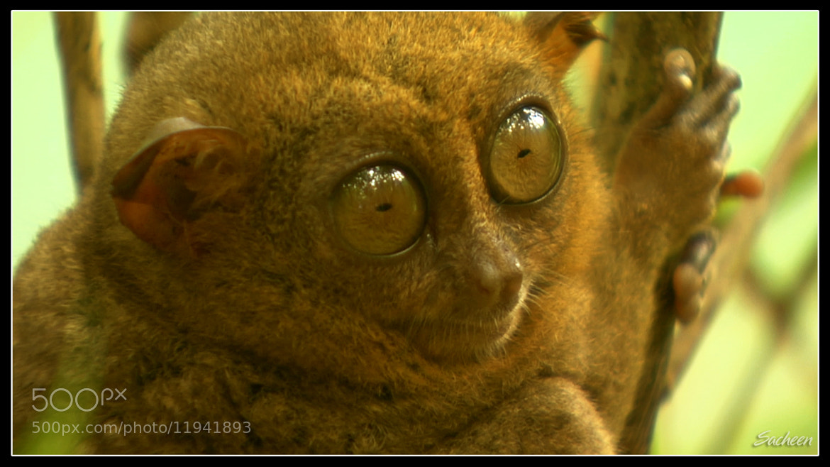 Photograph Tarsier in philipines by Sacheen Vaidya on 500px