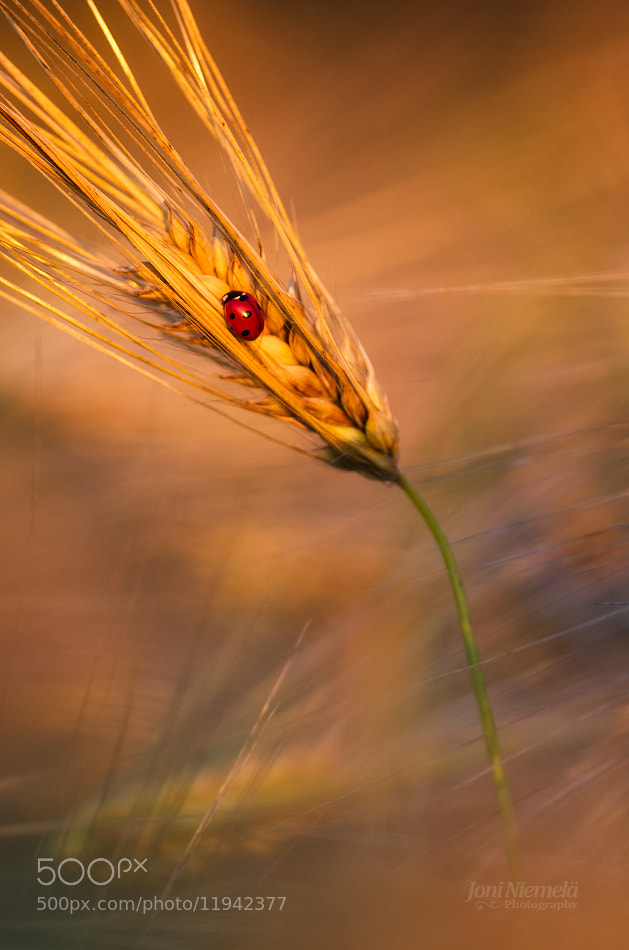 Photograph Ladybug in the evening light by Joni Niemelä on 500px