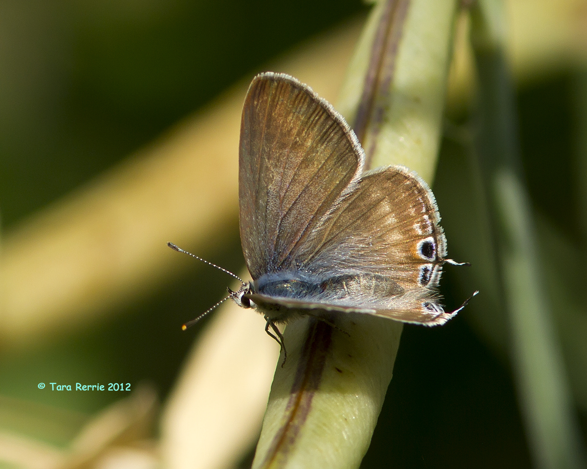 Photograph long tailed blue female top view by Tara Rerrie on 500px