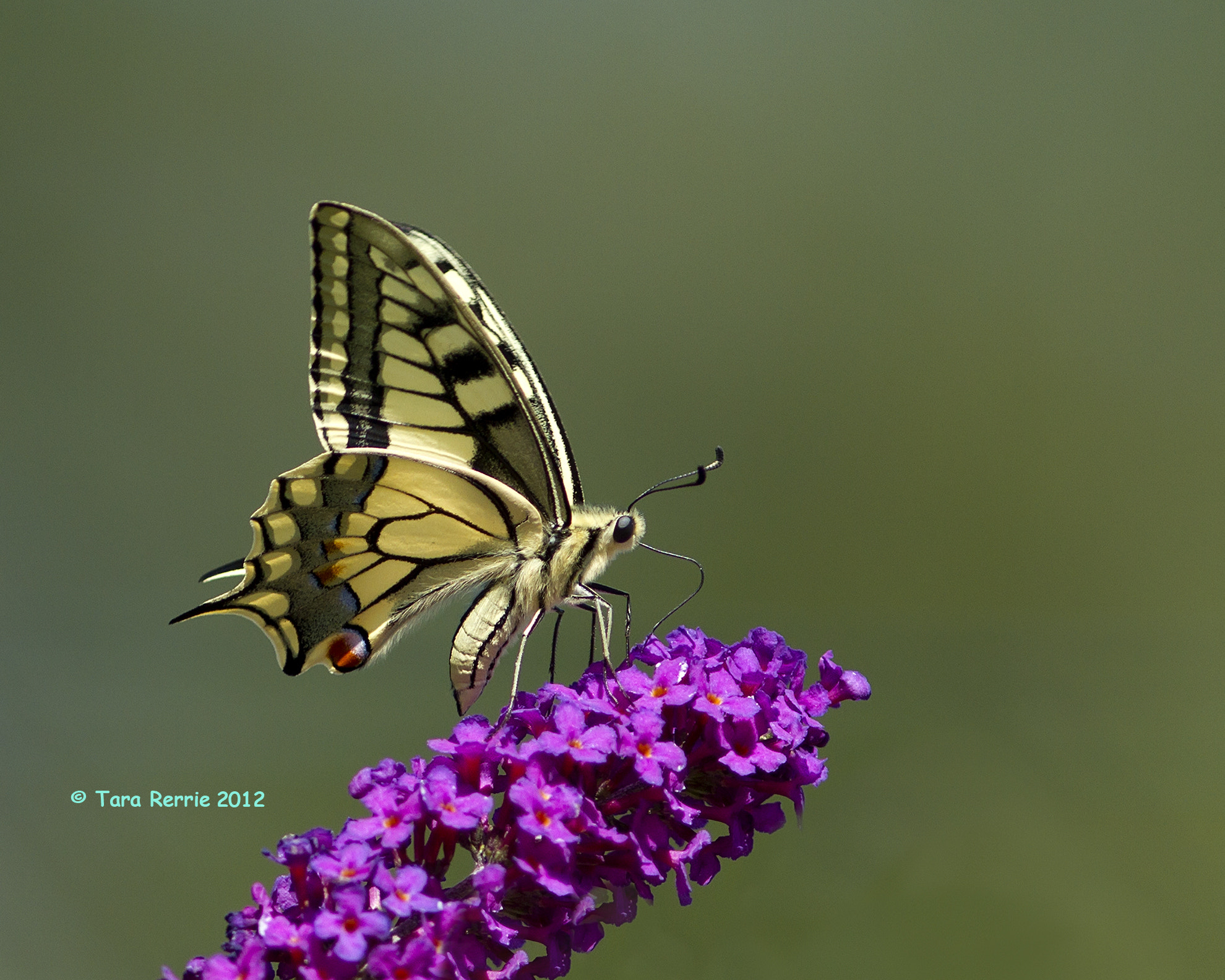Photograph Swallowtail by Tara Rerrie on 500px