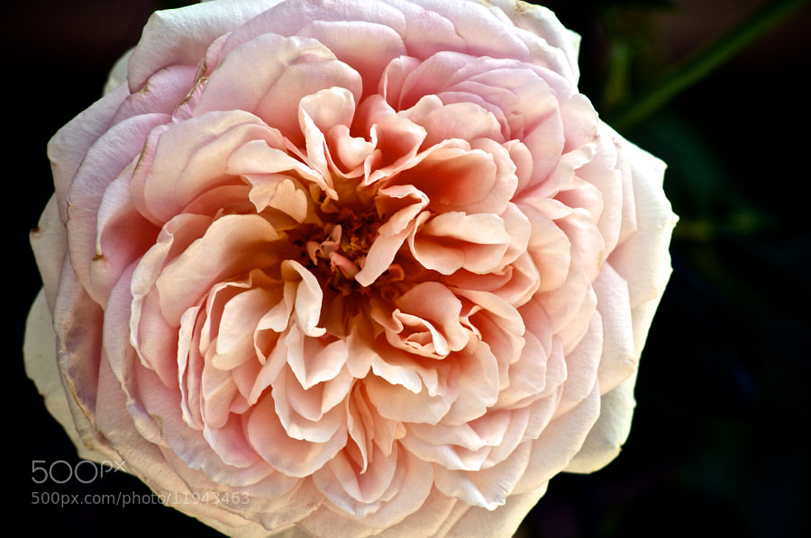 Abraham Darby by Fernando Cruz Bello (fercruz)) on 500px.com