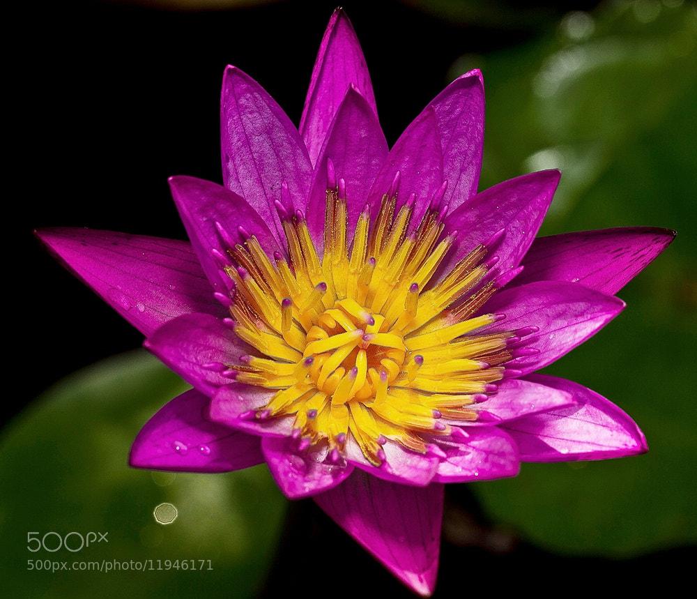 Photograph Purple Lotus by Vincent Budi Darmawan Sinaga on 500px
