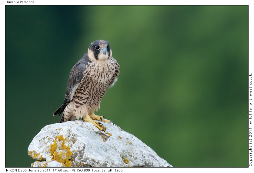 Photograph Peregrine Juvenile by Ade Lee on 500px