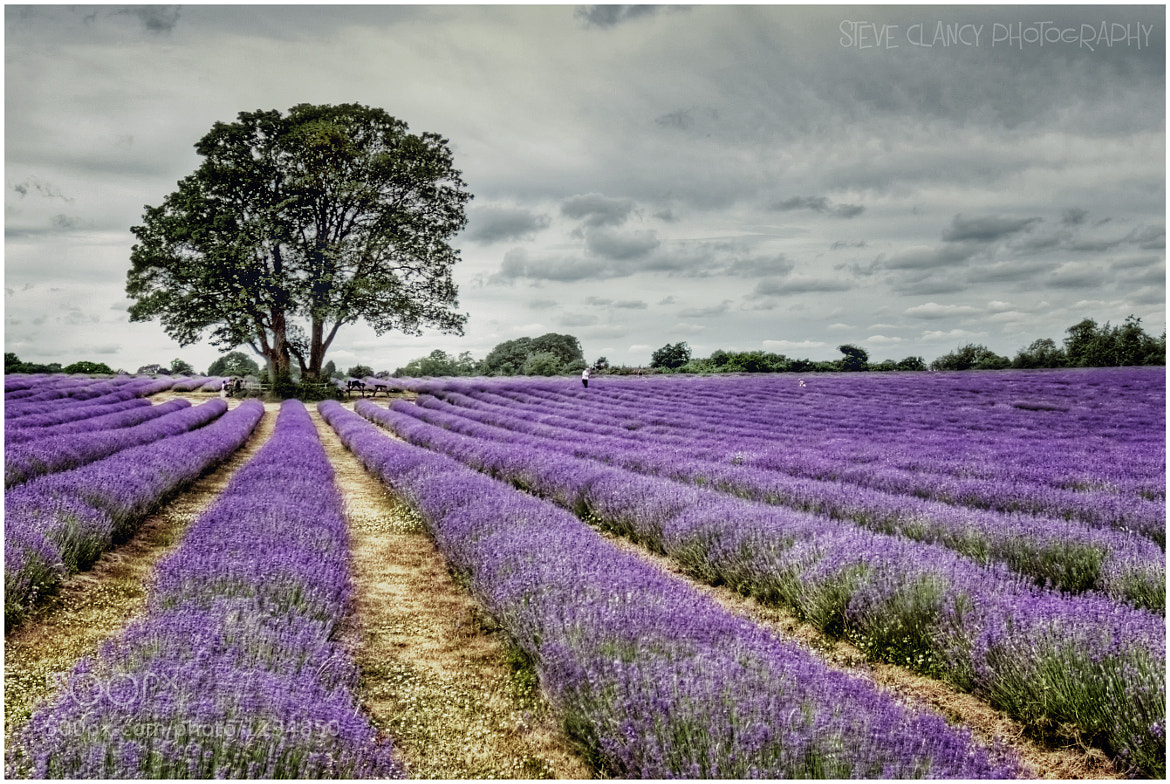 Photograph Lavender Field by Steve Clancy on 500px