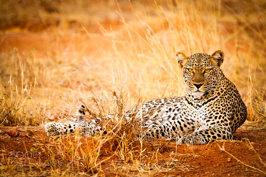 Photograph Chui by Stephen Oachs on 500px
