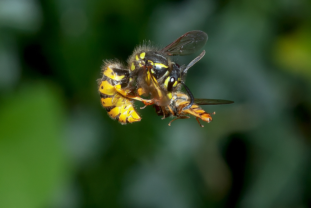 Photograph Wasp Attacking Hoverfly In Mid Air by Dale Sutton on 500px
