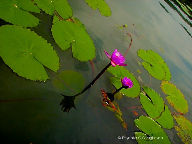 Photograph Enchanting water lilies ! by Priya Sri on 500px