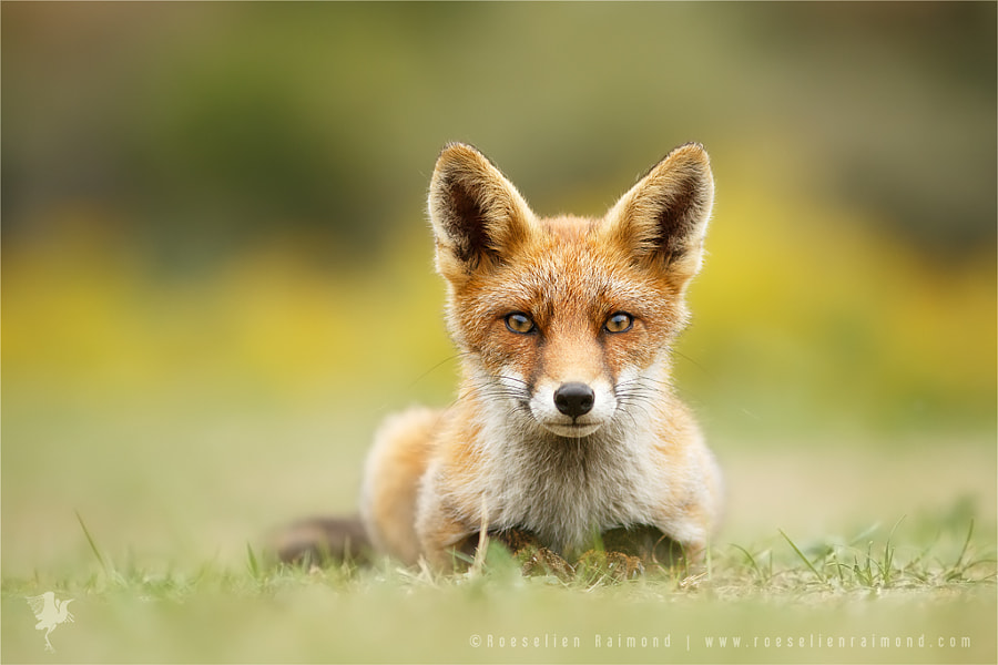 HypnoFox by Roeselien Raimond on 500px.com