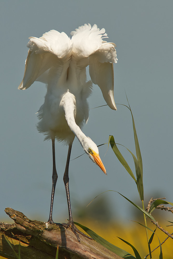 Photograph Great white heron by Tom  Kruissink on 500px