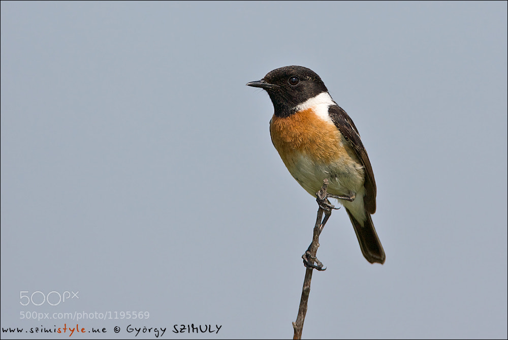 Photograph European Stonechat (Saxicola rubicola) by Gyorgy Szimuly on 500px