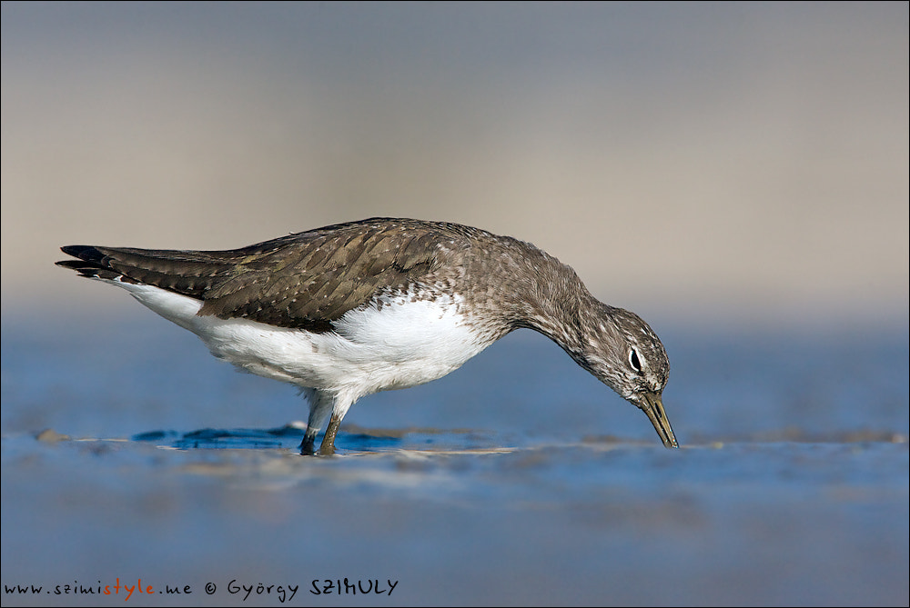 Photograph Green Sandpiper (Tringa orchropus) by Gyorgy Szimuly on 500px