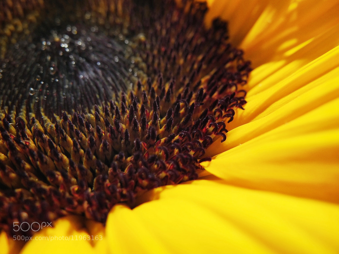 Photograph Sunflower by Brad Levine on 500px