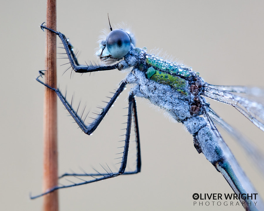Emerald Damsel by Oliver Wright on 500px.com