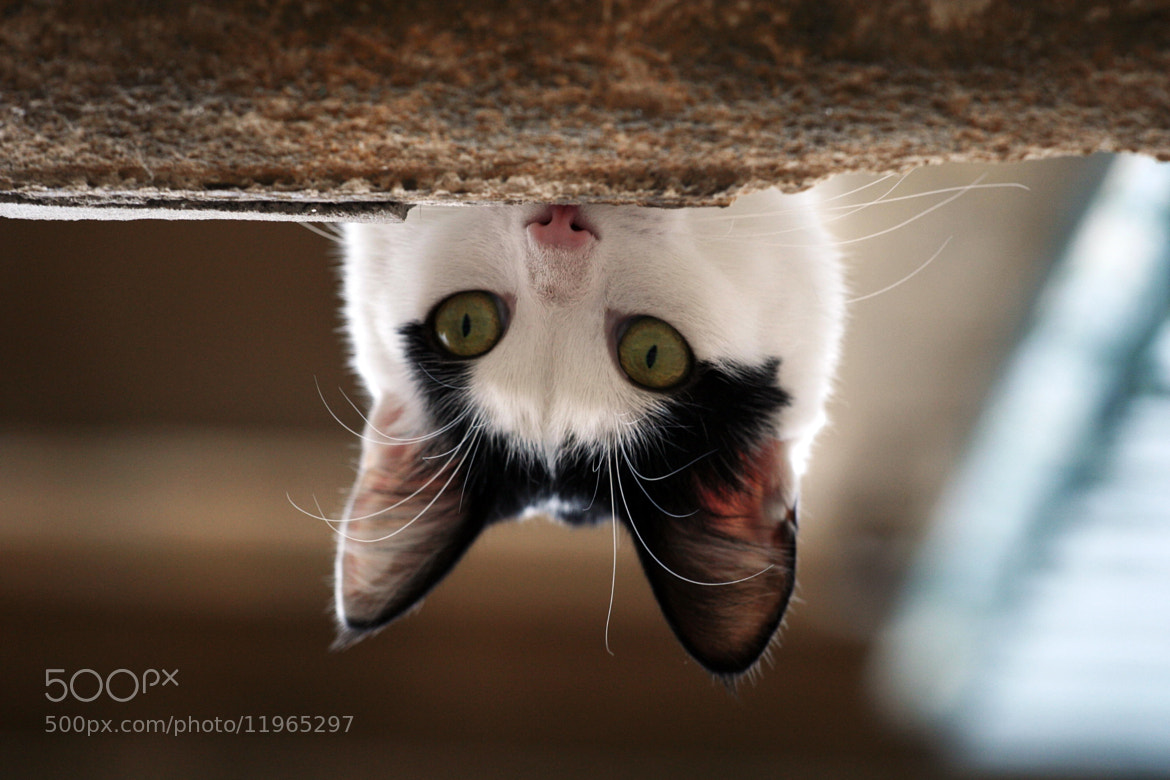 Photograph Cat peeking from a ledge by Justin Sneddon on 500px