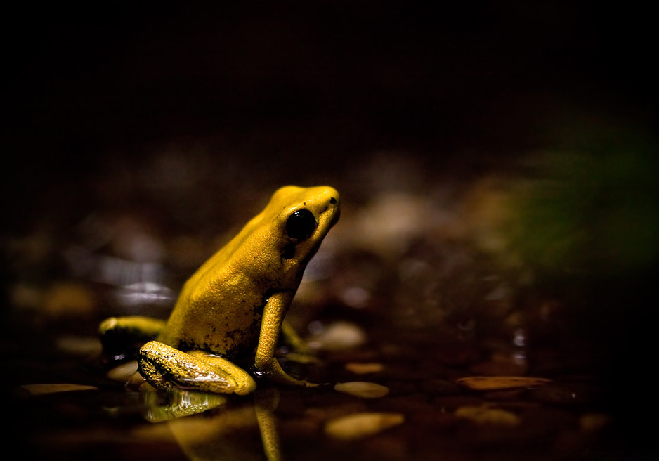 Photograph Phyllobates terribilis by AimishBoy (Nadav Bagim) on 500px