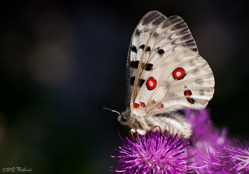 Photograph Parnassius apollo by Tomica Rubinić on 500px