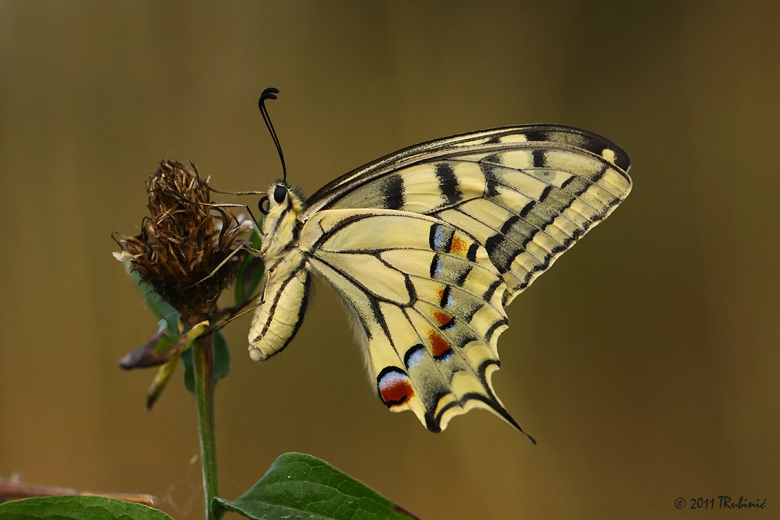 Photograph Swallowtail by Tomica Rubinić on 500px