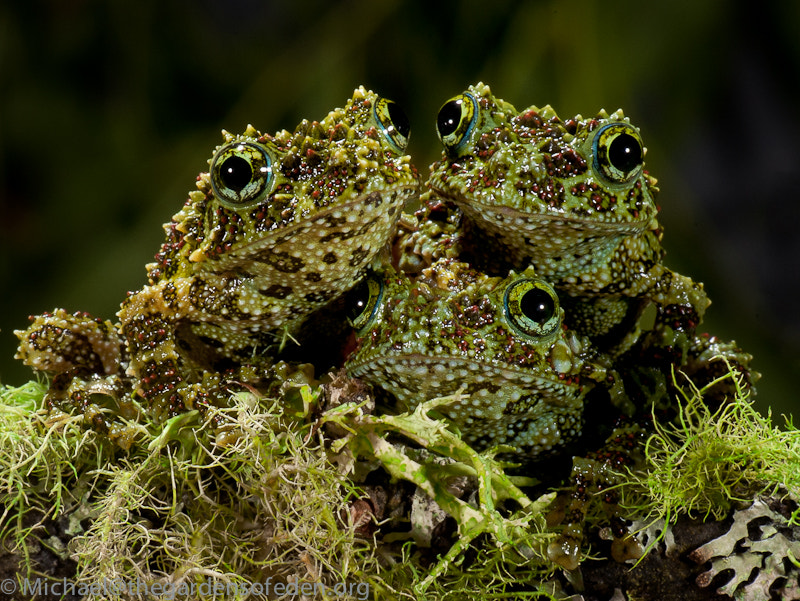 Theloderma corticale, Vietnamese Mossy Frog, автор — Michael Kern на 500px.com