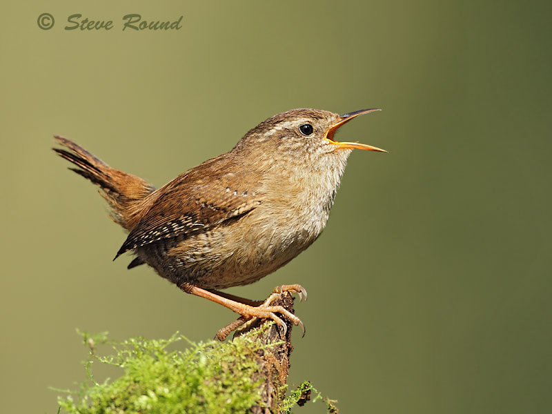 Photograph Wren by Steve Round on 500px