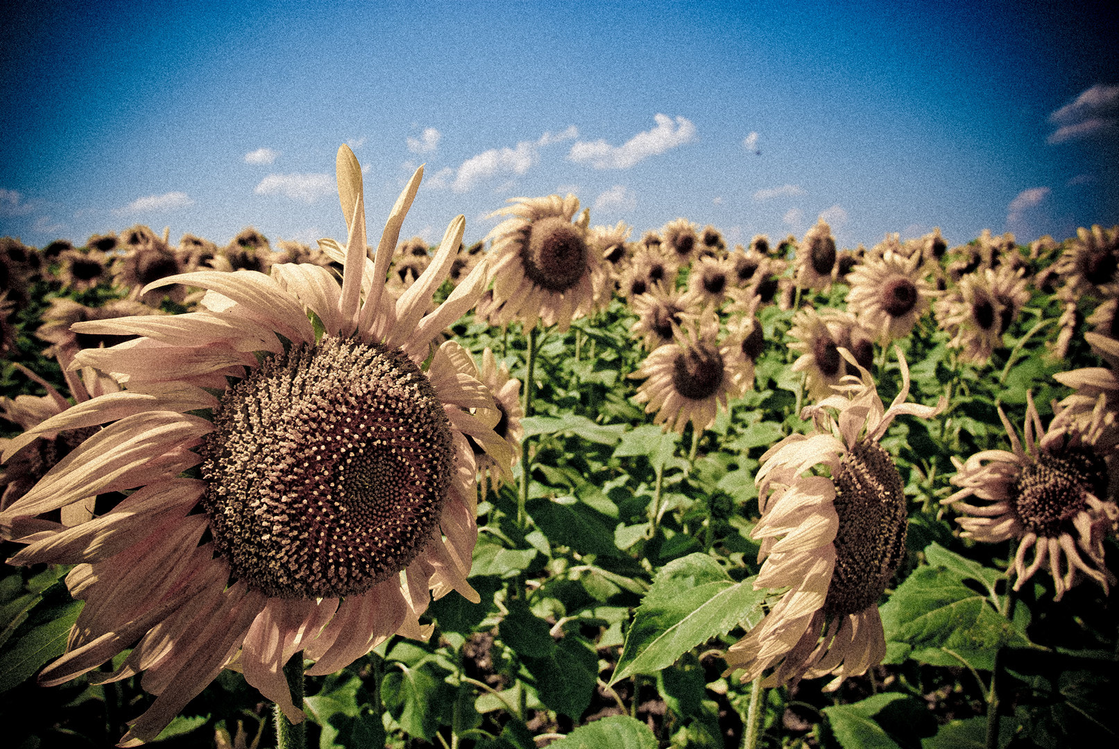 Photograph Sunflower 2-1 by S. S. on 500px