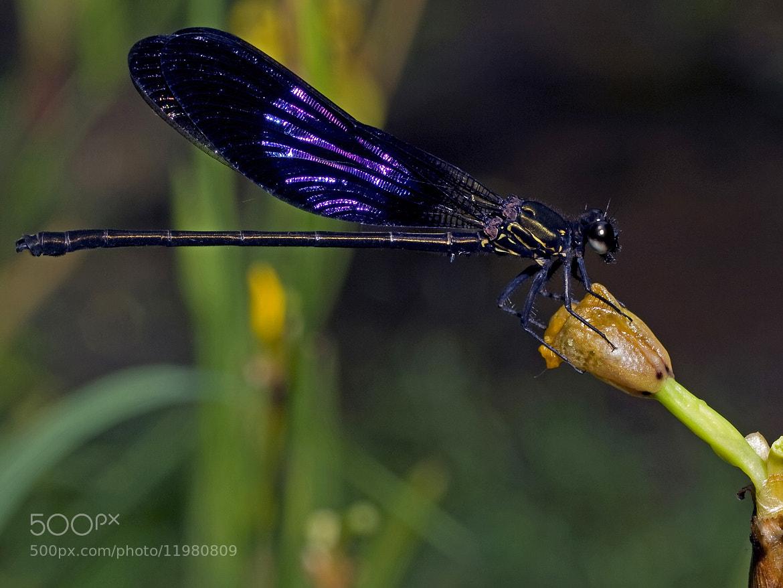 Photograph Damselfly - Purple by SIJANTO NATURE on 500px