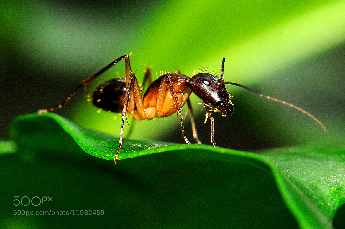 Photograph Black Garden Ant by Merlin Francis on 500px