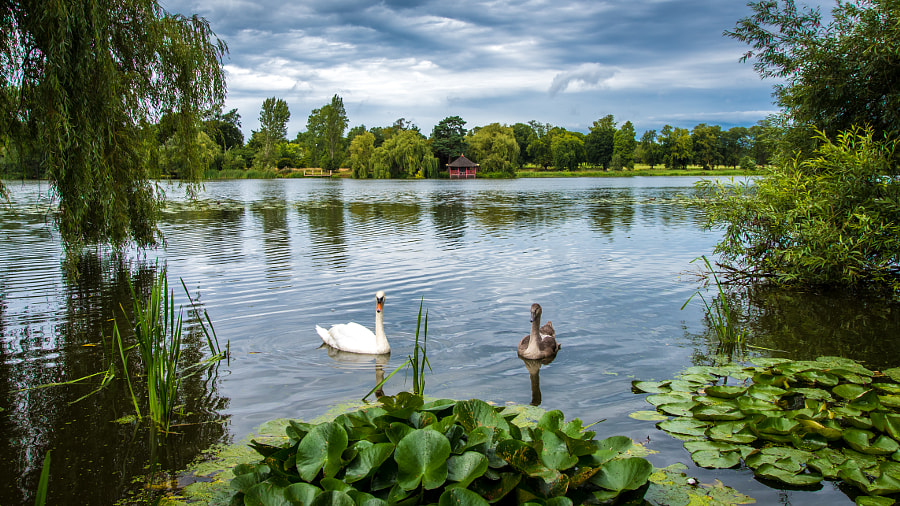 __Swans Swimming on Lake at Hever Castle__