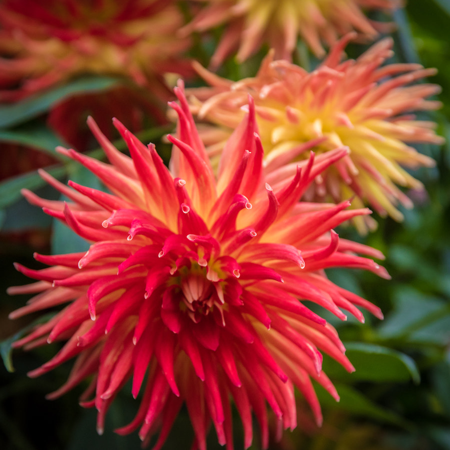 __Fiery Red Dahlias__