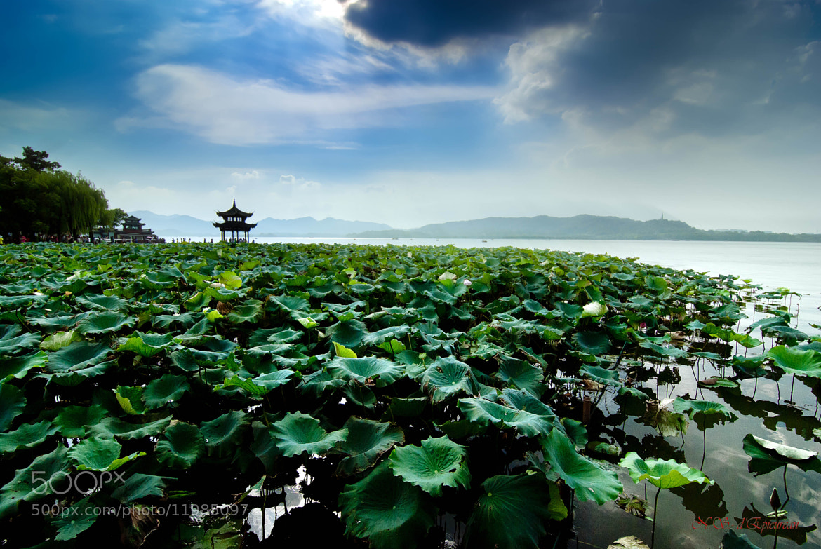 Photograph Lotus Flowers at Hangzhou Westlake by epicurean on 500px