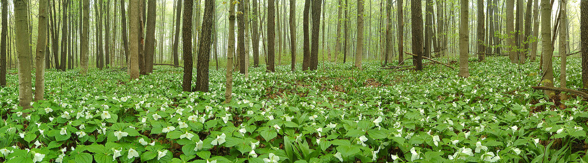 Photograph Trillions Of Trilliums by Charles St. Charles on 500px