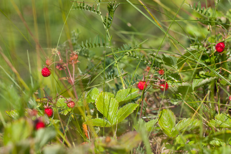 Photograph Wild Strawberries by Andrey Kuznetsov on 500px