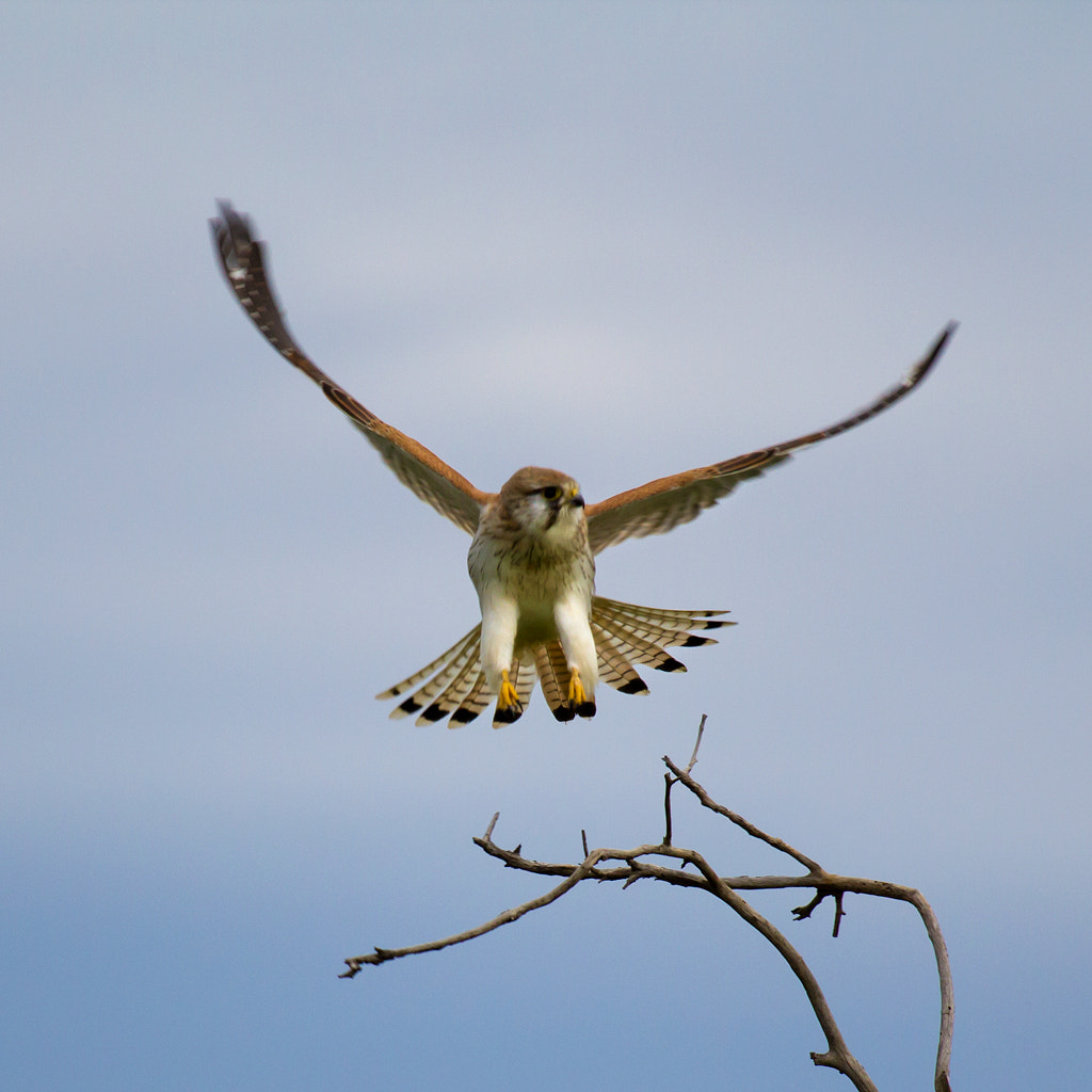 Photograph Nankeen Kestrel by Peter Ede on 500px